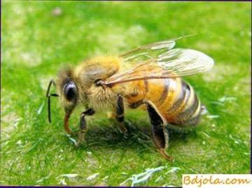 Tratamiento con picaduras de abeja