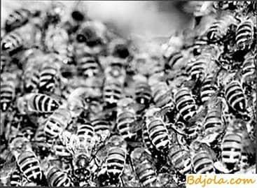 La cría de abejas muertas