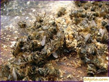 Rickettsiosis de las abejas