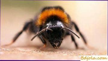 Septicemia ennegrecimiento y muerte de abejas