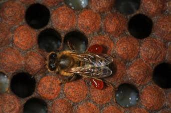 Enfermedades fúngicas para la prevención de las abejas