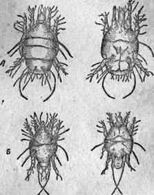 Enfermedades de abejas adultas