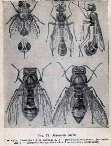 Fizocephalosis de las abejas