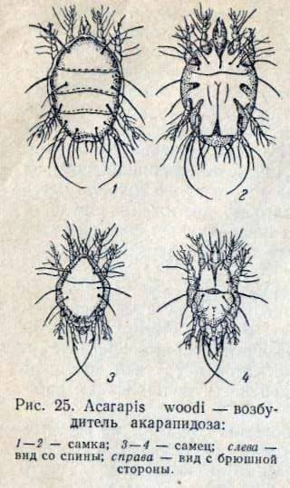 Acarapidosis de abejas