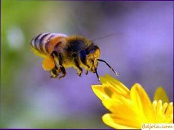 Toxicidad del polen de las abejas