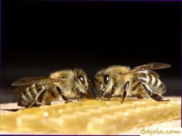 Cómo tratar aspergilosis de abejas o cría de piedra