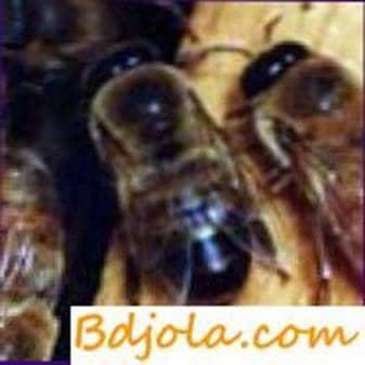 Toxicosis pandémica de las abejas