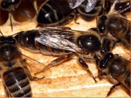 Salida de las abejas reinas