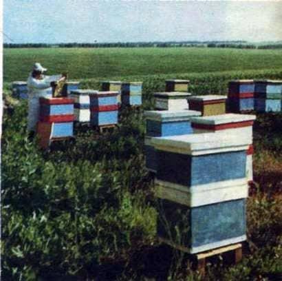Para hacer la abeja reina