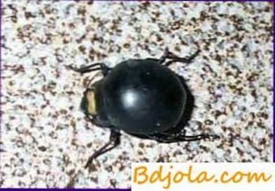 Ladrón escarabajo   Fingir