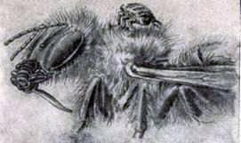 Piojo de abeja