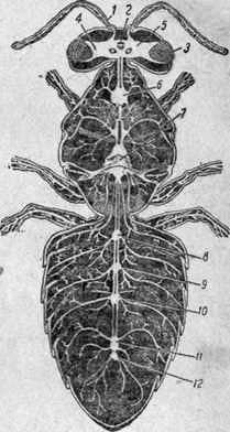Sistema nervioso, órganos de los sentidos y comportamiento de las abejas