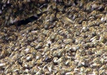El ciclo anual de desarrollo y vida de una familia de abejas