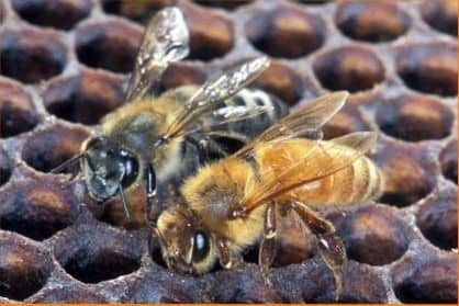 Selección de abejas