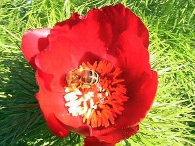 Colección de miel y polen en los bosques (prados de bosques)