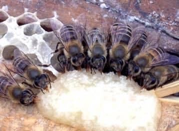 Aderezo de abejas en el pabellón
