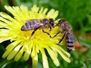 Período de primavera de desarrollo de las abejas