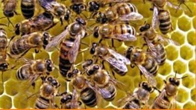 Contenido de bicarbonato de las abejas