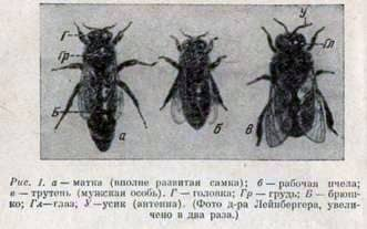 Familia de abejas