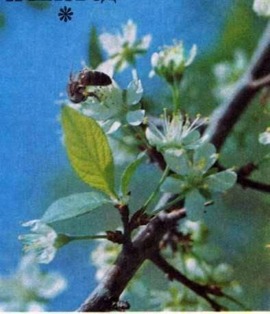 Vendaje de primavera con jarabe de azúcar tibio