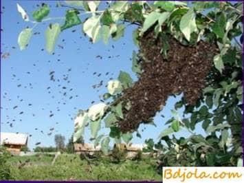 Enjambre de las abejas en el apiario
