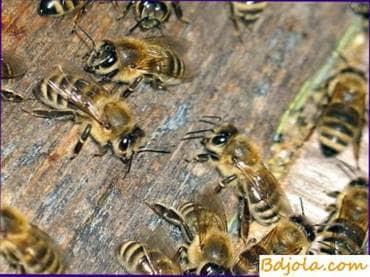 La primera inspección de una familia de abejas en un invernadero