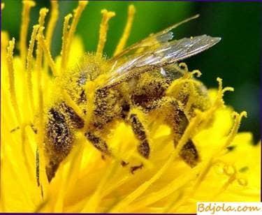 Alimento para las abejas, cocinado con azúcar