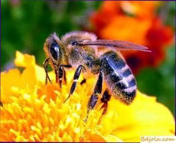 Especies de abejas utilizadas en invernaderos