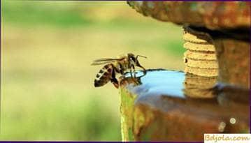 Beber abejas