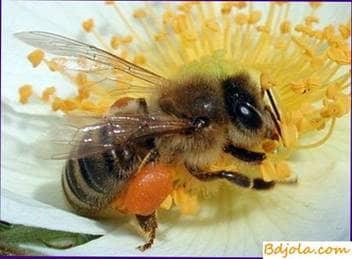 Mejorando la base de alimentos para las abejas