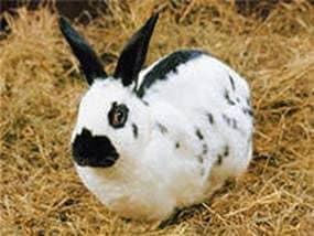Cómo quitar la piel de un conejo