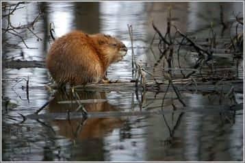 Reproducción de ratas almizcleras en la trama