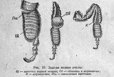 Внешнее строение тела пчелы