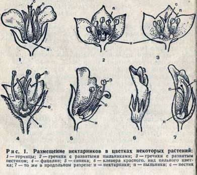 Выделение нектара цветами медоносных растений