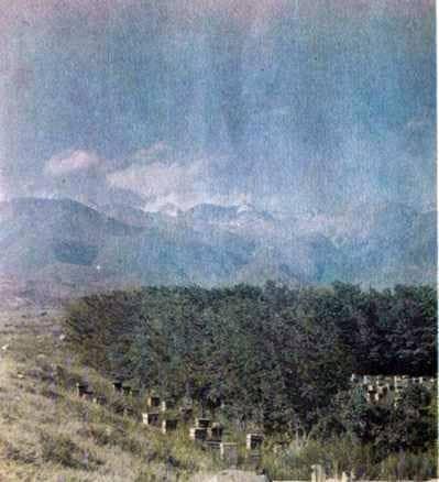 Серые горные кавказские пчелы