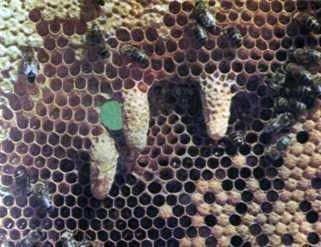 Распределение работ в пчелином улье