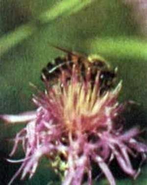 Значение цвета и запаха для пчел