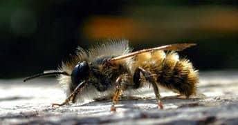 Пчелы каменщицы