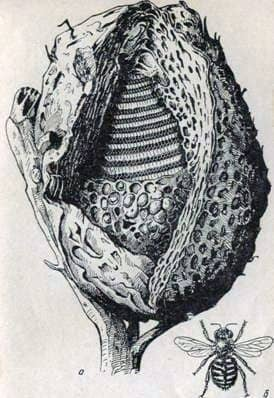 Безжалые пчелы мелипоны