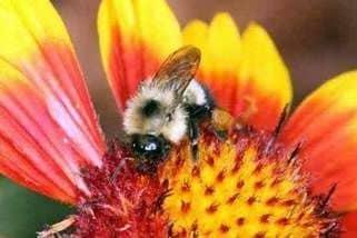 Индийские пчелы