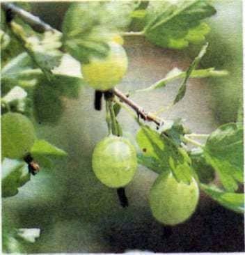 Устройства для снятия плодов и ягод