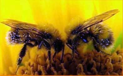 Дикие медоносные пчелы