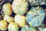 Ensalada de calabaza con manzanas y miel