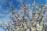 Early honey-plants