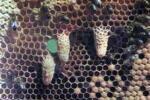 Distribución del trabajo en la colmena de abejas