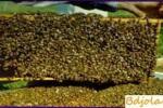 Reposición de las existencias de forraje y aderezo de las abejas