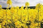 Сбор меда и нектара с рапса