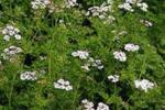 Recoge miel y polen del cilantro
