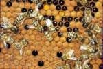 El contenido de las abejas en el apiario de la reserva
