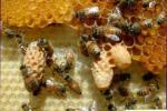 Биология пчелиной семьи